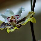 IN &quot;SIMPLICITY&quot; _ &quot;THE ONCIDIUM&quot; - orchid by Magaret Meintjes