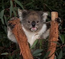 Koala - Australia's Star Performer by Mark Elshout