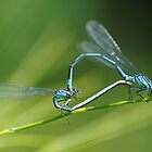 Damselflies by Kasia Nowak