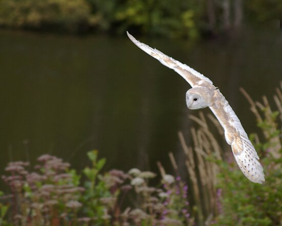 barn owl 2 by cameraman
