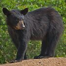 Young Black Bear by Jane Best