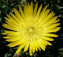 yellow pigface by StaceyH