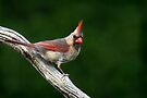 Northern Cardinal (female) by Renee Dawson