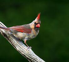 Northern Cardinal (female) by Renee Dawson