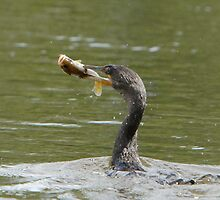 Double-crested Cormorant by DigitallyStill