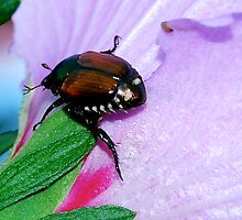beetle on flower by Jennifer Muller