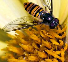 Hover Fly by Colin Shanley