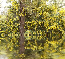 Wattle Reflections by Elaine Teague