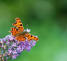 Comma - Butterfly by Simon Pattinson