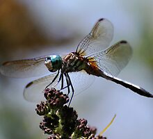 'Blue Eyed Dragonfly' by Scott Bricker