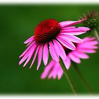 Purple Cone Flower by mrthink