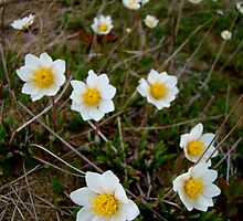 Eight-Petaled Dryas by Kimberlee Brent