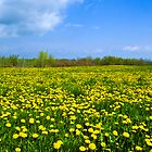 Dandelion Field by Andy Vandawalker