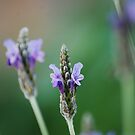 Lavender, first crop by JenniferJW