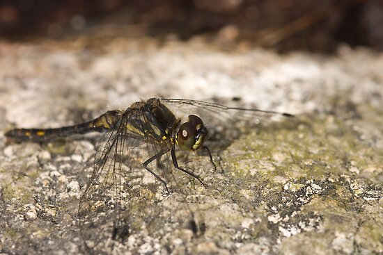 Black Darter - Sympetrum danae by Jon Lees