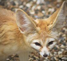 Fennec Fox ....... by jdmphotography