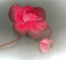Beautiful Begonia by missmoneypenny