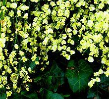 Yellow Broom by Marta Boulden