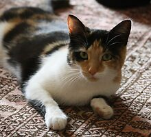 cat de Shan by stellelove
