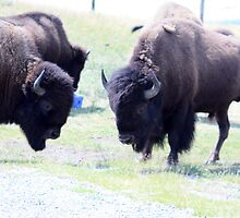 Buffalo Heads by Alyce Taylor