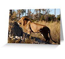 Morning hunt - Male Lion, Okavango delta Greeting Card