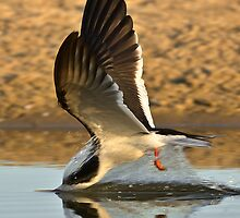 Diving Black Skimmer by David Orias