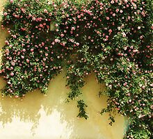 PINK and White Climbing ROSES in the Garden by creativetravler
