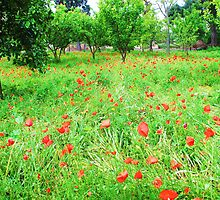 Field of Red Poppies by creativetravler