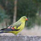 The Regent Parrot by Rick Playle