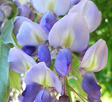 Wisteria by JuliaWright