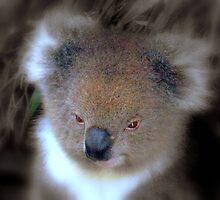 Koala © by Clive