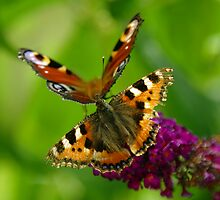Red Admiral and Peacock Butterflies on purple Buddleia by Eva & Klaus WW
