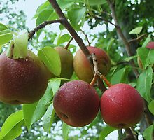 my first pears by ANNABEL   S. ALENTON