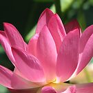Pink Lotus by NatureGreeting Cards ©ccwri