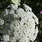 Queen Anne's Lace and admirers by zahnartz