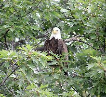 Bald Eagle by Judith Hayes