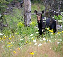 Pretty Moose Cow by Judith Hayes