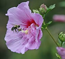 Rose of Sharon and friend by Paul Kavsak