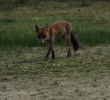 Red Fox (Vulpes vulpes)  by DutchLumix