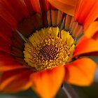 Gazania by Michael Hadfield