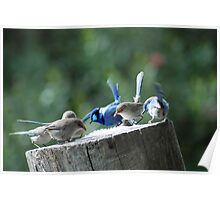 Blue Wrens dining out Poster