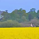 Canola Field by Peter Hammer