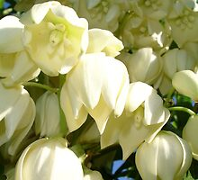 Cream Flowers of A Cordyline Cabbage Tree by taiche