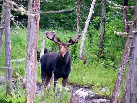 Bull Moose by Judith Hayes