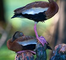 Black-Bellied Whistling-Duck by steini