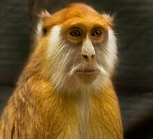 Crab-eating macaque by tarnyacox