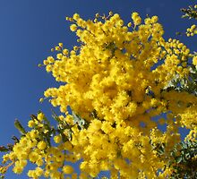 Winters Wattle by SharonD