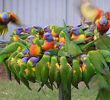 'Hey! make room for me!' Colourful Lorikeets feeding. by Rita Blom