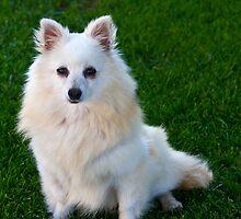 American Eskimo Dog 3 by David Chappell