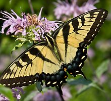 Eastern Tiger Swallowtail by Marija